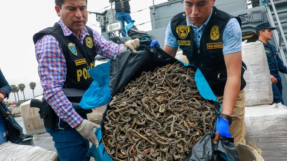Atentado ambiental : 12 millones de caballitos de mar extraídos ilegalmente del Mar Peruano