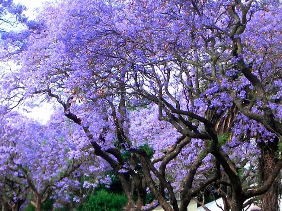 Kiri: el árbol que puede enfrentar la Crisis climática